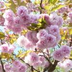2015八重桜