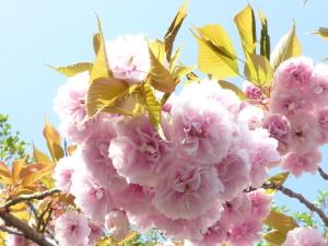 2015八重桜2