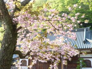 2015八重桜3
